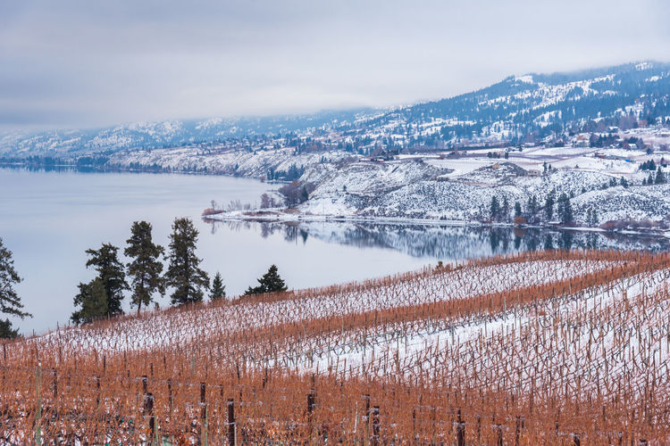 Winter view of Naramata Bench snow covered vineyards with Okanagan Lake and mountains in distance Afternoon British Columbia, Canada Grapevine January Naramata Naramata Bench Okanagan Lake Scenic Travel View Vineyards  Clouds Cold Fog Landscape Mist Mountains Nature Outdoor Outdoors Peaceful Snow South Okanagan Tourism Winter