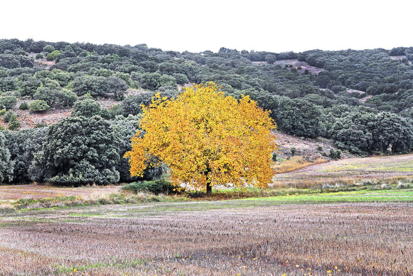 The prettiest tree Plant Tree Landscape Tranquil Scene Scenics - Nature Nature Tranquility Land Yellow Day Autumn Sky Environment No People Field Forest Non-urban Scene Beauty In Nature Beauty Agricultural Crops Guadalajara, Spain Quill Quills