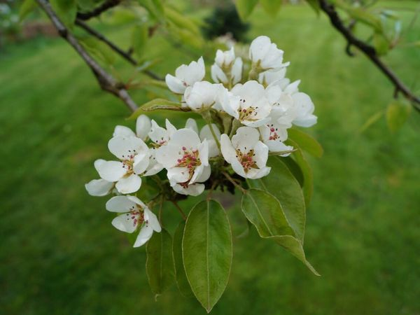 Flower Fragility Beauty In Nature White Color Nature Growth Blossom Petal Freshness Apple Blossom Botany Flower Head Springtime Tree No People Branch Close-up Day Focus On Foreground Blooming
