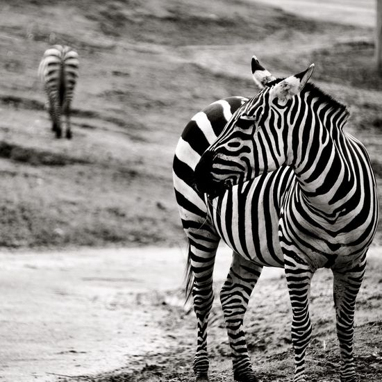 Black & White Blackandwhite Photography Zebra Stripes Zebra Blackandwhite Wildlands Emmen Wildlands  Animals In The Wild Animal Wildlife One Animal Mammal Outdoors Safari Animals Nature
