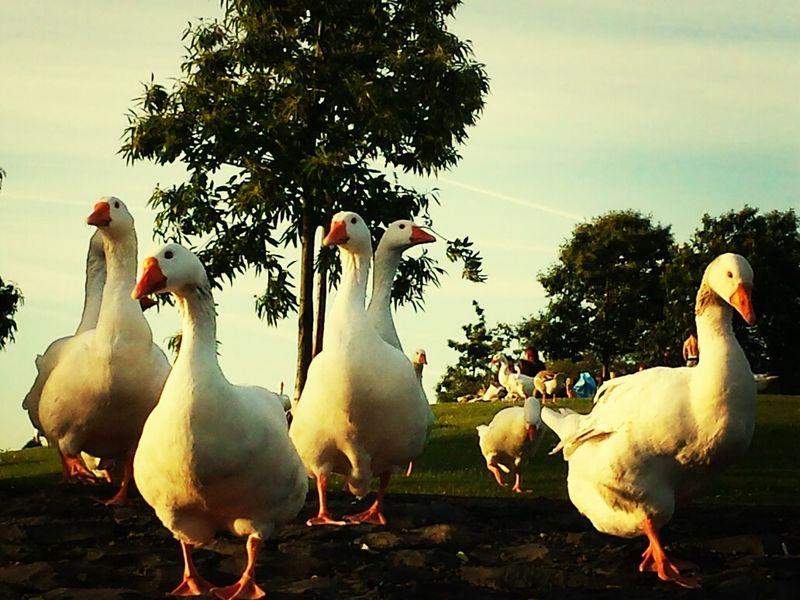 Boost Filter Eyeem Natur Lover Geese Summer 2014
