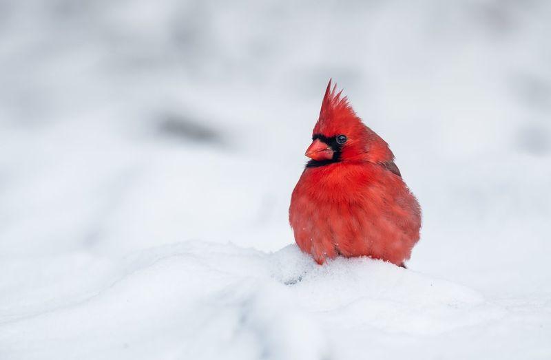 Close-up of cardinal on snow