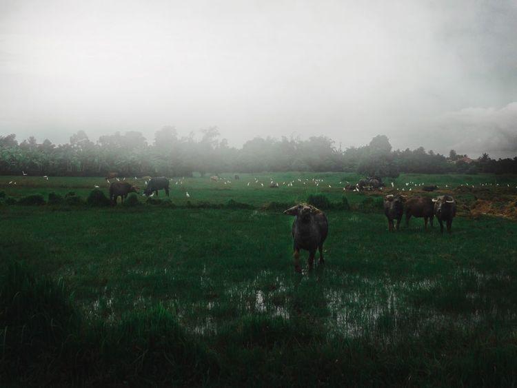 Countryside - Kuala Terengganu Cow Countryside Kuala Terengganu Field Domestic Animals Animal Themes Grass Livestock Nature Mammal