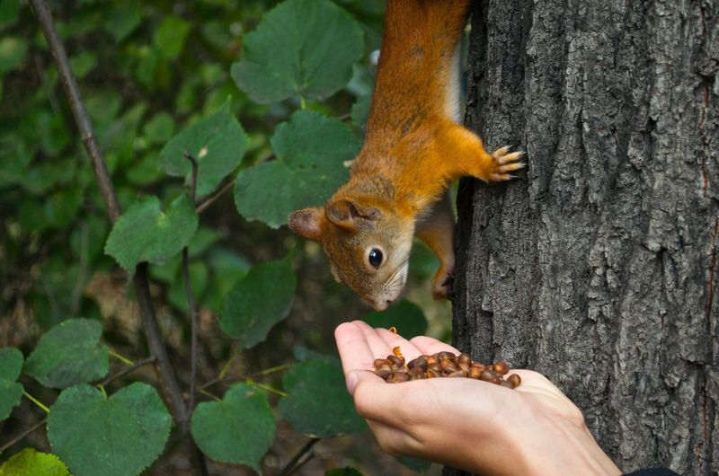 Cropped Hand Of Person Feeding Squirrel