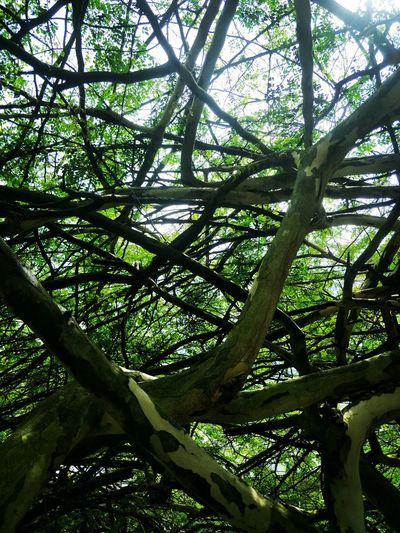 tree branches like cob webs Tree Branch Forest Tree Trunk Sky Green Color EyeEmNewHere