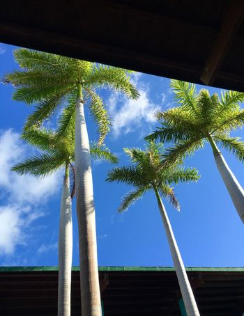 Cuba 2015 Cuba Palm Trees Palms Blue Sky Lookingup Hello World Taking Photos Enjoying Life Roof Be Live Turquesa