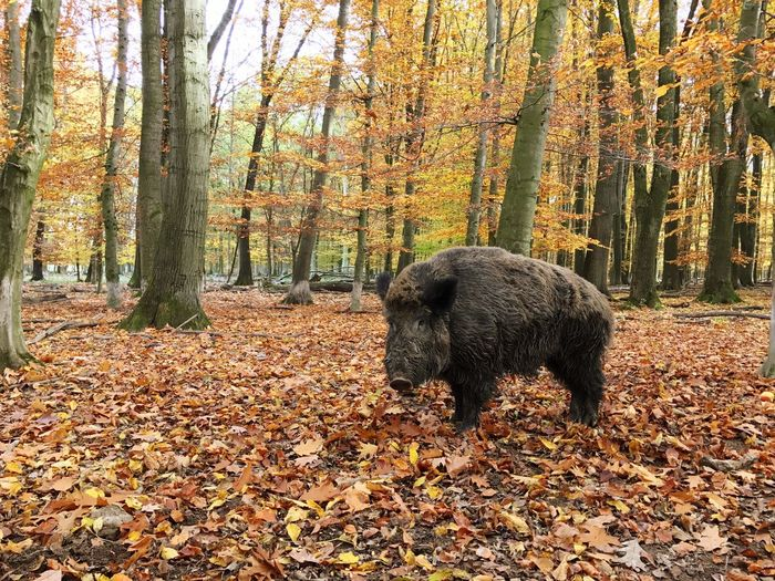 Boar Wild Boar Forest Autumn One Animal Tree Animal Themes Nature Leaf Mammal No People Change Outdoors Field Animals In The Wild Day Beauty In Nature Landscape