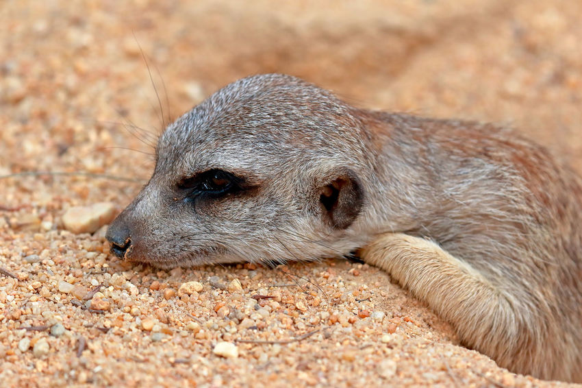 Animal Themes Animal Wildlife Animals In The Wild Close-up Day Mammal Meerkat Nature No People One Animal Outdoors