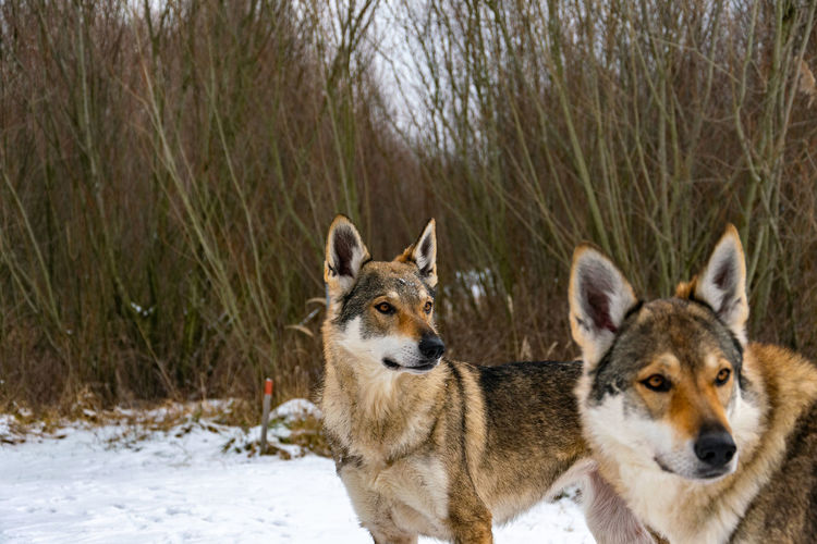 View of two dogs on snow