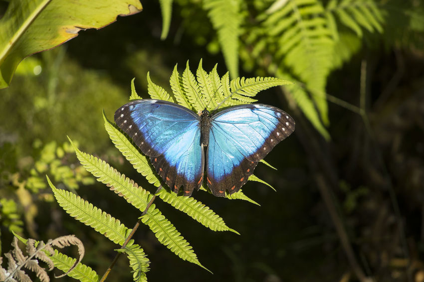 Morpho peleides, the Peleides blue morpho, common morpho or the emperor is an iridescent tropical butterfly found in Mexico, Central America, northern South America, Paraguay and Trinidad. The brilliant blue color in the butterfly's wings is caused by the diffraction of the light from millions of tiny scales on its wings. It uses this to frighten away predators, by flashing its wings rapidly. The wingspan of the blue morpho butterfly ranges from 7.5–20 cm (3.0–7.9 in). The entire blue morpho butterfly life cycle, from egg to adult is only 115 days. The larvae of Morpho peleides butterflies are occasional cannibals. These caterpillars are red brown with patches of bright green. Morpho peleides butterflies stick together in groups to deter their predators, a form of mobbing behavior. SANTA MARGARIDA ENVIRONMENTAL PARK AND TROPICAL BUTTERFLY HOUSE In a space of six hectares and in a scenery of great quality and beauty, the Environmental Park of Santa Margarida provides the visitor with direct contact with nature, enjoying moments of tranquility and having information and activities related to the environment. The park includes a garden of medicinal and aromatic plants, an outdoor amphitheater, water mirrors, a playground, a picnic area, an observation tower from which you can have an overview of the Park and one can appreciate an immense landscape, and a tropical butterfly house. The butterfly is installed in a modern building, with temperature and humidity controlled to resemble the tropical environment (23-30 ° C, 70% humidity). After a series of information about butterflies and their life cycle has been transmitted, we enter the butterfly itself. Once there, we can observe the caterpillars of the two species whose life cycle is already fully realized in this space: Dryas Iulia Fabricius, 1775 and Caligo memnon Felder, 1866. The other species are imported periodically in the form of chrysalis and are there waiting for outbreak. Animal Animal Themes Animal Wildlife A