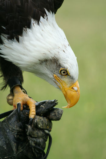 Close-up of bald eagle perching on cropped hand