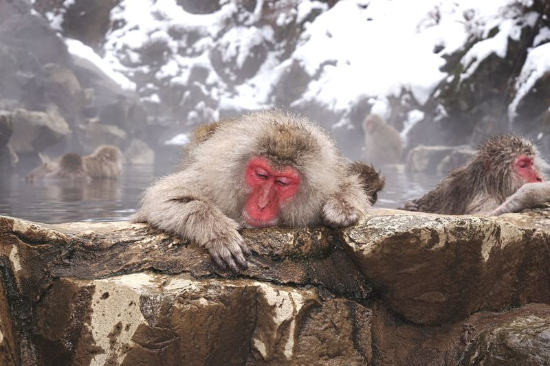 Monkeys On Snow Covered Landscape