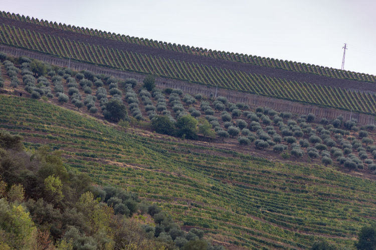 Douro riverbank with vineyards and olive groves Douro  Portugal Agriculture Architecture Building Exterior Built Structure Day Environment Field Green Color Growth Hill Land Landscape Nature No People Outdoors Plant Plantation Rural Scene Scenics - Nature Sky Tranquility Tree Vineyard