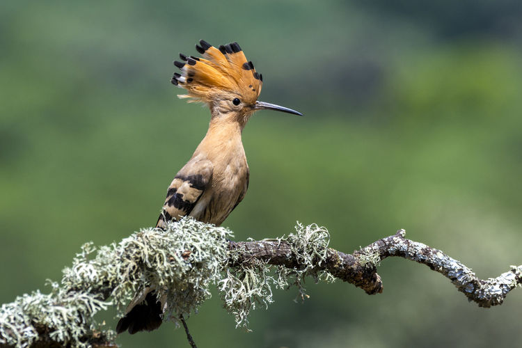 Upupa Epops Abubilla Animal Themes Animal Wildlife Animals In The Wild Beauty In Nature Bird Branch Close-up Day Focus On Foreground Hoopoe Nature No People One Animal Outdoors Perching Tree