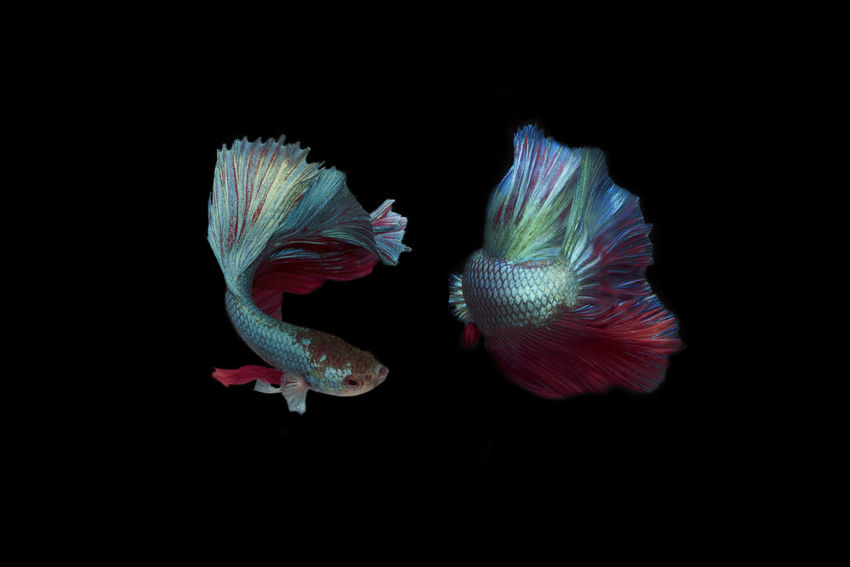 Front and Behind Siam fighting half moon Betta fish Animal Animal Themes Animal Wildlife Animals In The Wild Beauty In Nature Black Background Close-up Copy Space Fish Flower Head Group Of Animals Indoors  Marine Nature No People Sea Sea Life Studio Shot Swimming UnderSea Underwater Water