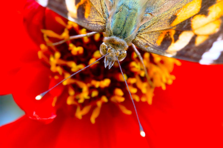 Animal Themes Animals In The Wild Beauty In Nature Close-up Day Extreme Close-up Flower Flower Head Focus On Foreground Fragility Freshness Insect Nature One Animal Petal Pollination Red Single Flower Wildlife Fresh On Market 2016