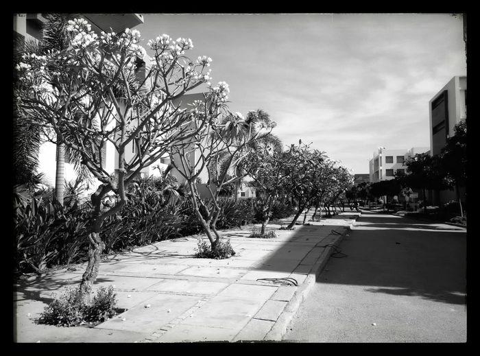 Seasoning Naked Trees B&w