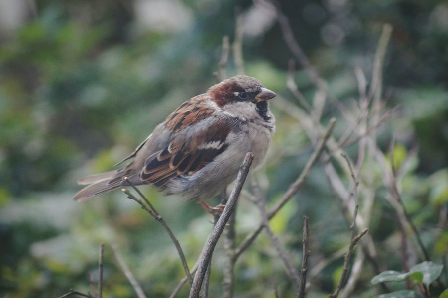 House Sparrow EyeEm Birds Swedish Nature Sweden Solna Hagalund Showcase August Colour Of Life Macro August 2016 Niklas Maximum Closeness My Year My View BYOPaper! The Week On EyeEm Perspectives On Nature