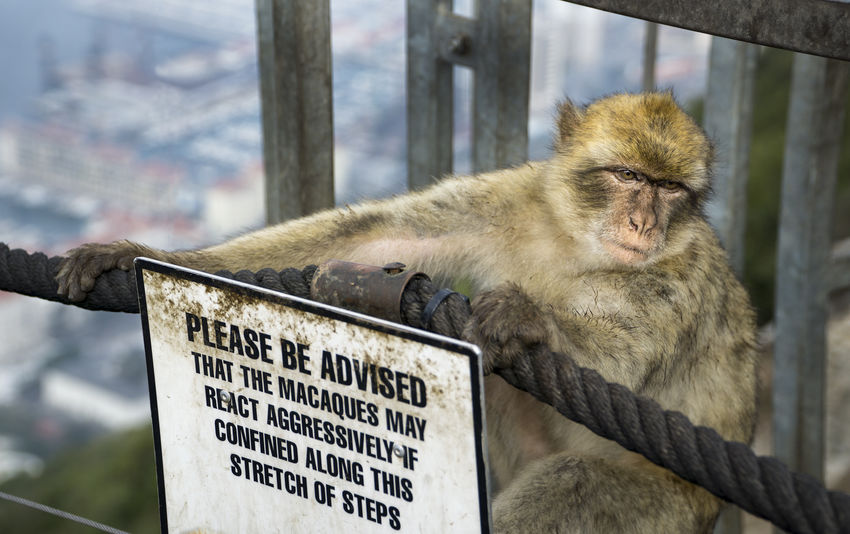 Barbary monkeys on Gibraltar pose a danger to tourist who come in close contact. Ape Danger Sign Tourist Attraction  Animal Dangerous Animals In The Wild Barbary Macaques Gibraltar Macaque Macaque Monkey Mammal Monkey No People Text Warning Sign Wildlife
