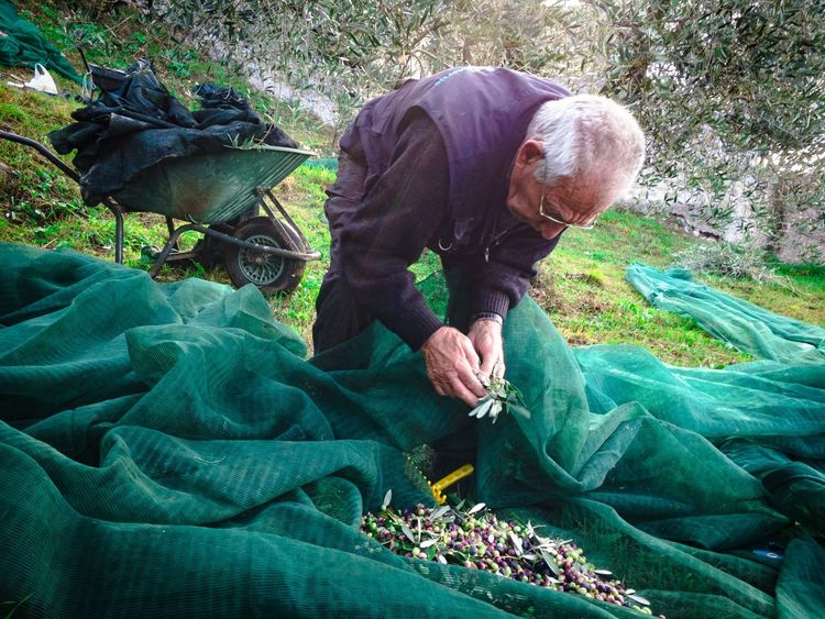 Senior Adult Men Farmer Real People Working Senior Men Adult Person Nature Horizontal Occupation Outdoors People Day IPhoneography Olives