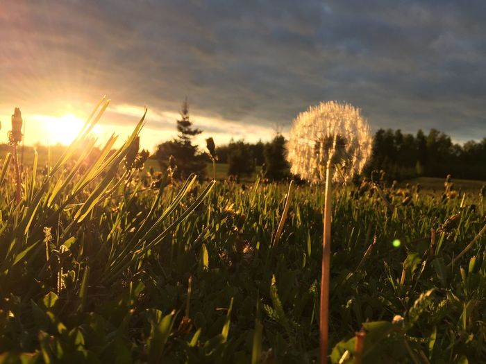 Beauty In Nature Close-up Field Flower Grass Growth Nature Plant Sunlight Sunset