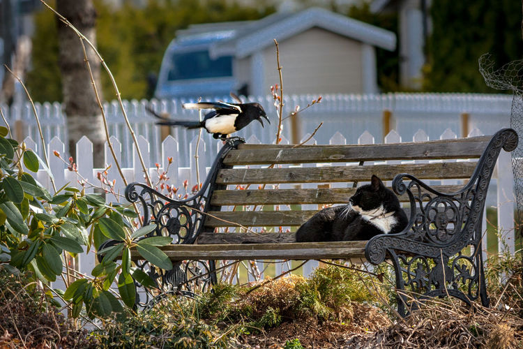 Animal Photography Animal Themes Animal Wildlife Animals In The Wild Beauty In Nature Bench Bird Cat Day Domestic Animals Friend Or Foe Magpie Mammal Nature No People Now What? One Animal Outdoors Pets
