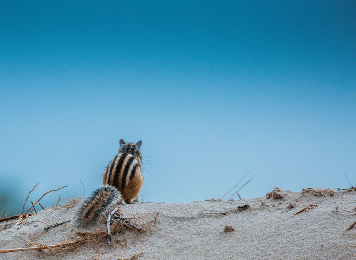 Rear view of chipmunk sitting on sand against clear blue sky