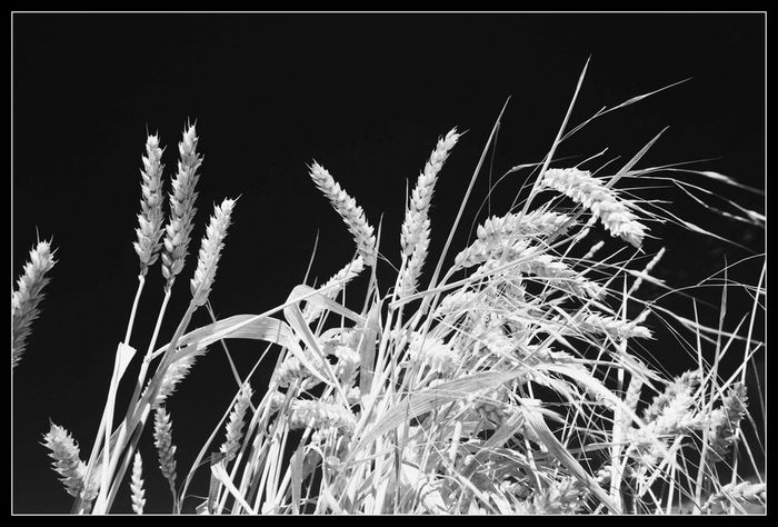 Auto Post Production Filter Beauty In Nature Bw Focus On Foreground Grass Growth Nature Non-urban Scene Outdoors Sky Tranquility Transfer Print Uncultivated Weizenähre