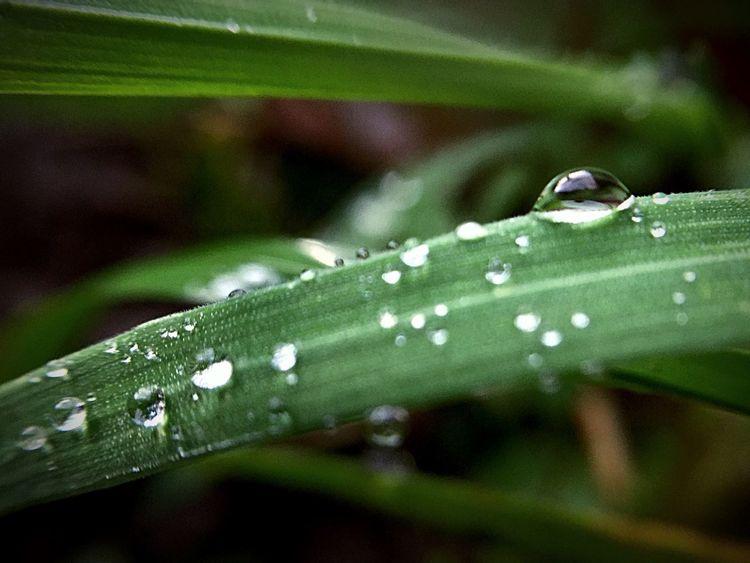 Raindrops After The Rain Wet Drop Close-up Green Color Selective Focus Blade Of Grass Rain