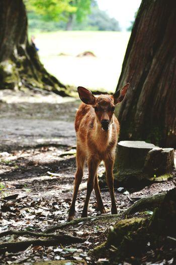 Daim! Nara,Japan Nara Japan Daim Park Nature Animal Pets