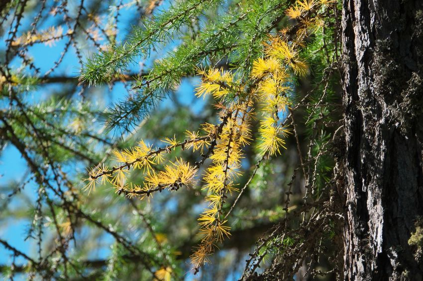 Beauty In Nature Branch Change Close-up Coniferous Tree Day Focus On Foreground Forest Green Color Growth Land Leaf Leaves Lichen Nature No People Outdoors Plant Plant Part Sunlight Tranquility Tree Tree Trunk Trunk