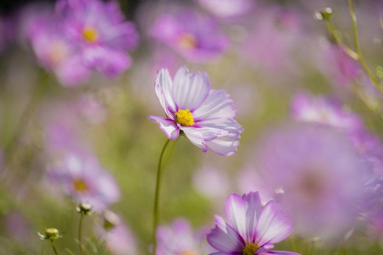 Close-up of purple cosmos flowers