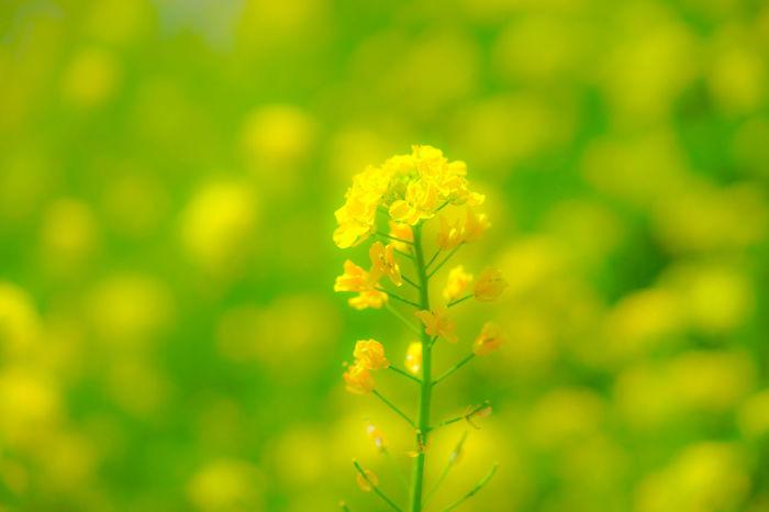 『輝く』 菜の花 花 Flowers Flowerporn Nature Photography Naturelovers Nature Bokeh Photography Sony Fe 90mm F2.8 Macro G Oss SONY A7ii