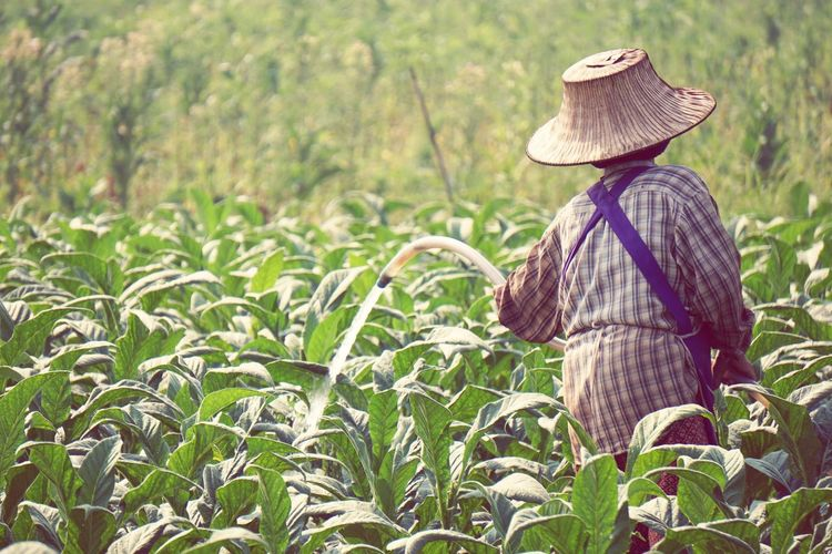 Rear view of farmer wearing hat while watering plants at farm