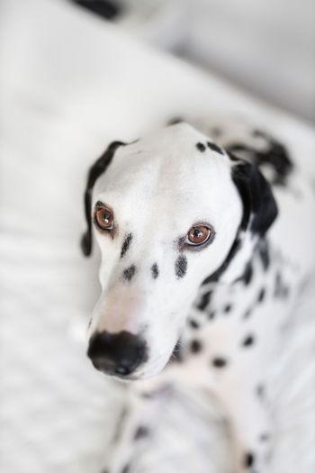 EyeEm Selects Eye4photography  EyeEmBestPics EyeEm Masterclass Eyeem Market EyeEm Gallery Colours EyeEmNewHere Eyeempets Dogs Cute Vscocam Vscogood Vscodog Dalmatians EyeEm Best Shots Doggy