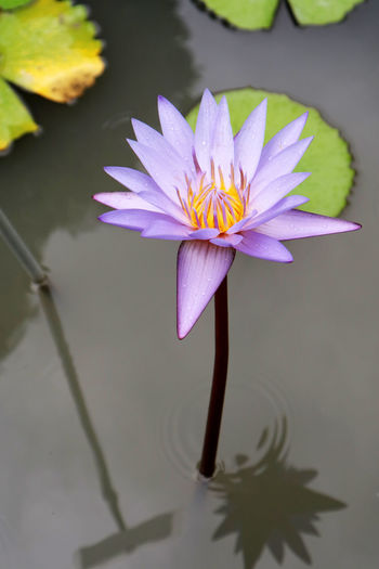 Beauty In Nature Floating On Water Flower Flower Head Flowering Plant Fragility Freshness Inflorescence Lotus Water Lily No People Outdoors Petal Plant Pollen Pond Purple Vulnerability  Water Water Lily