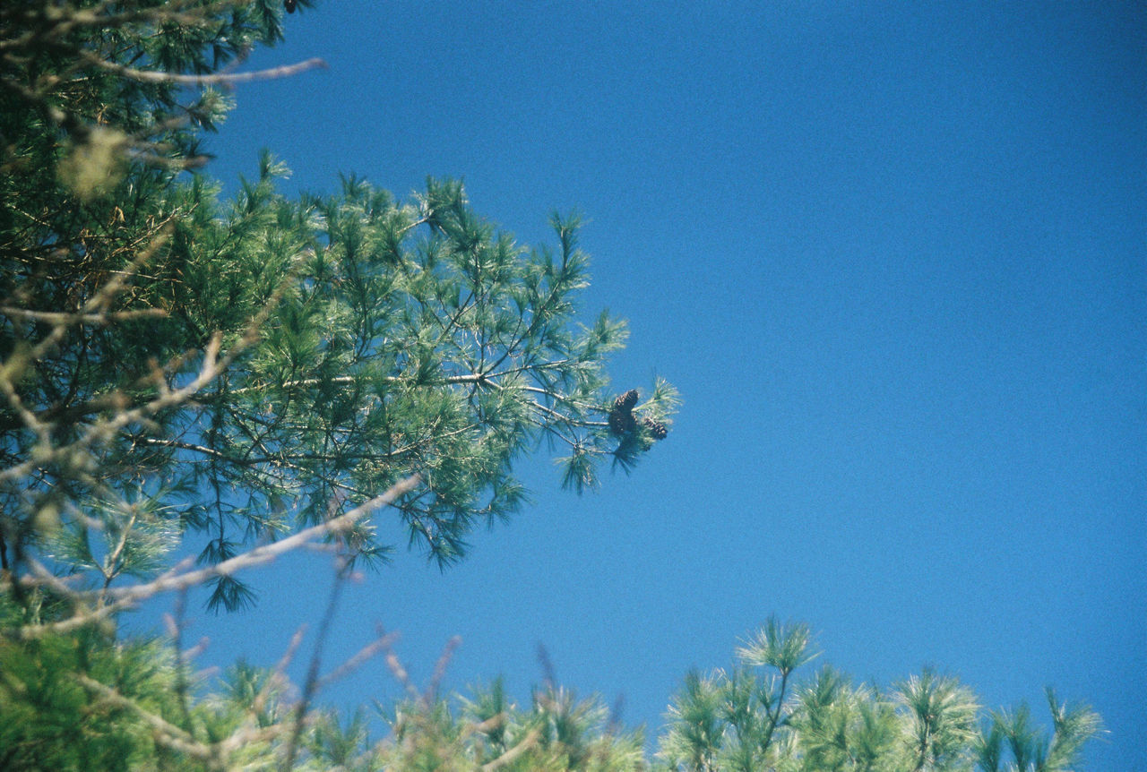 growth, tree, nature, blue, no people, clear sky, low angle view, beauty in nature, day, plant, branch, outdoors, freshness