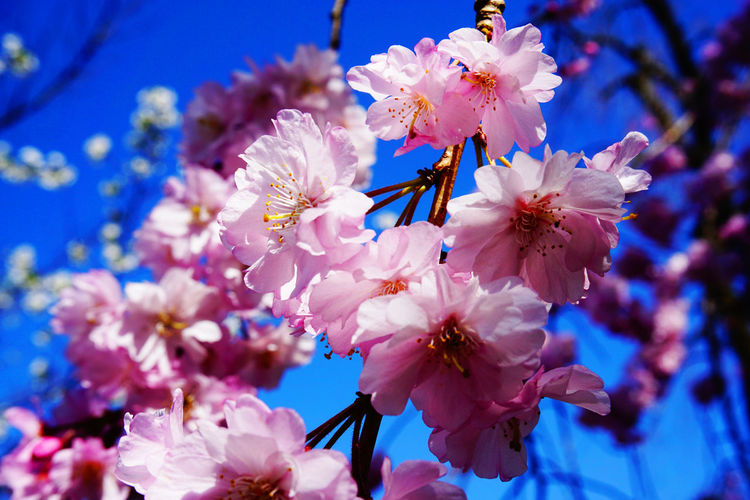 2015  Beauty In Nature Blossom Cherry Blossom Cherry Blossoms Chidorigafuchi Close-up Flower Flower Head Fragility Freshness Growth Japan Nature Outdoors Petal Pink Springtime Tokyo Tree お花見 サクラ 千鳥ヶ淵 桜