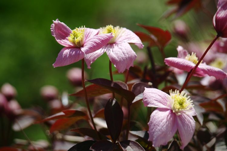 Flower Pink Color Petal Flower Head Pink Clematis Focus On Foreground No People Close-up Plant Fragility Nature Growth Freshness Beauty In Nature Outdoors in the beautiful Gardens at Dunrobin Castle Scotland