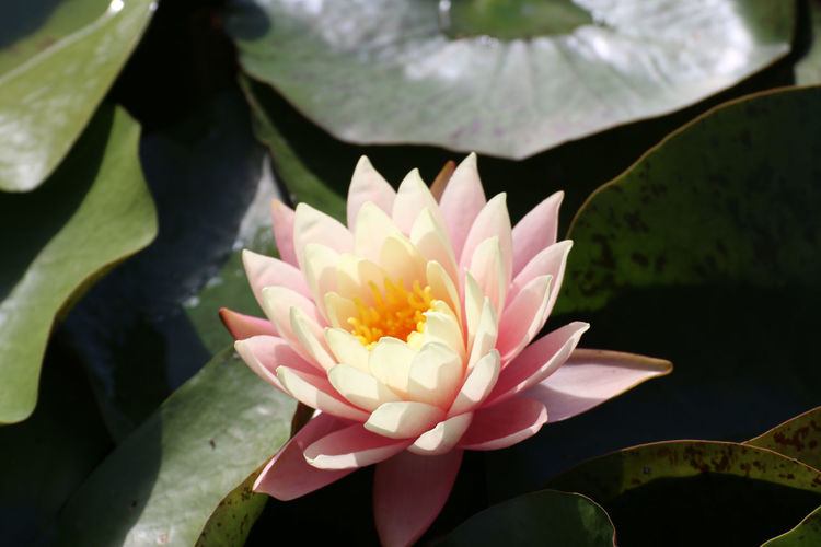 Blooming on water Beauty In Nature Close-up Day Floating On Water Flower Flower Head Flowering Plant Fragility Freshness Glow Growth Inflorescence Leaf Lotus Lotus Water Lily Nature No People Outdoors Petal Plant Plant Part Pollen Pond Vulnerability  Water Lily