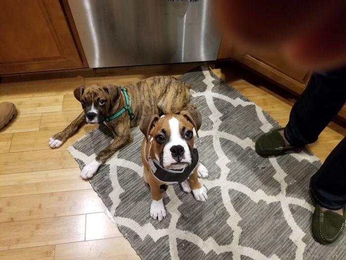 Puppy boxer Zeke
