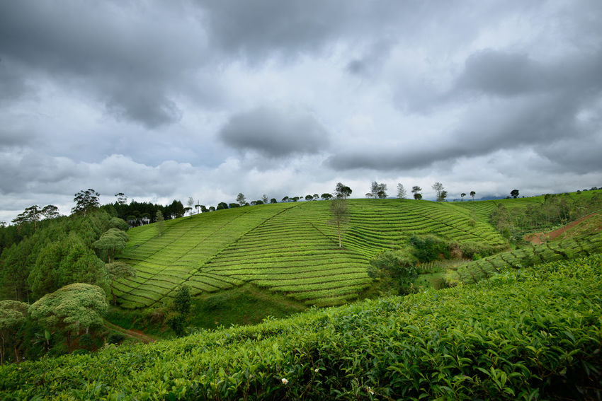 Pasir Malang Tea Plantation, Located in Pangalengan, South Bandung Indonesia Agriculture Bandung Beauty In Nature Day Field INDONESIA Landscape Nature No People Outdoors Rural Scene Scenics Storm Cloud Tea Tea Crop Tea Plantation  Thunderstorm