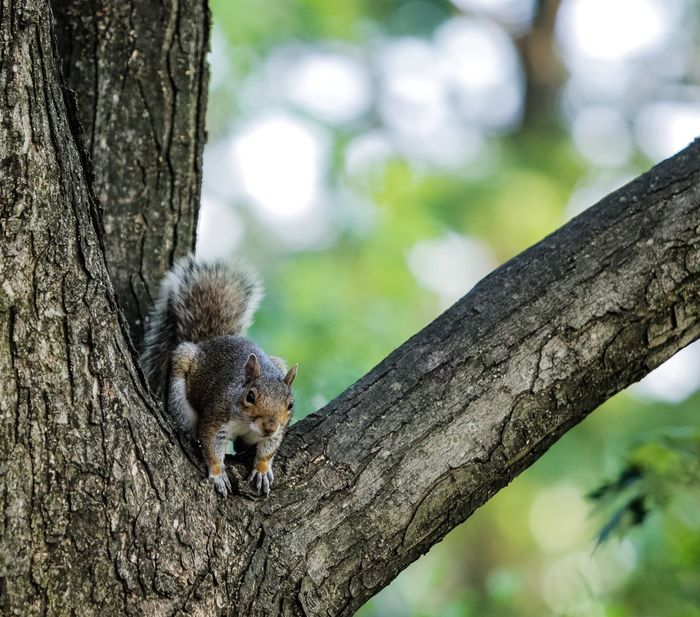 I am invaded by these critters. They can be kind of cute. Squirrel Gray Squirrel Tree Animals Animals In The Wild