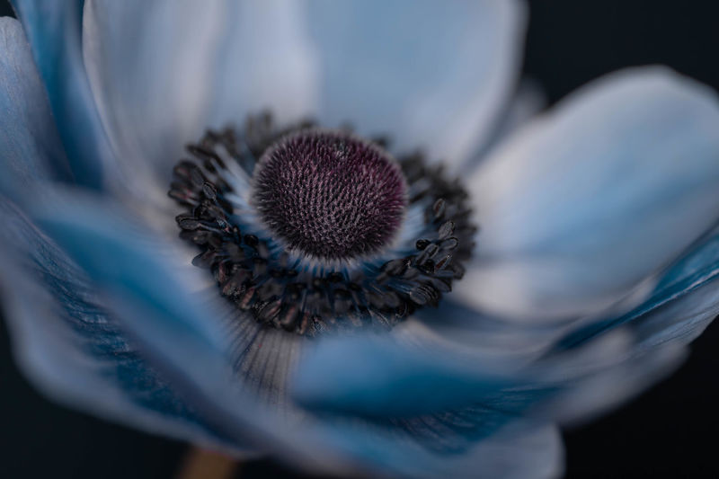 Close-up of blue anemone flower