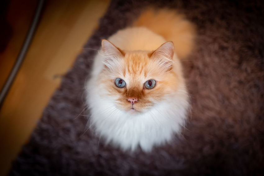 Indoor photo of Sacred Birman cat Domestic Pets Cat Domestic Animals Domestic Cat Mammal Feline One Animal Portrait Looking At Camera Indoors  No People Close-up Kitten Animal Body Part Whisker Eye Persian Cat  Animal Eye Sacred Birman Cat