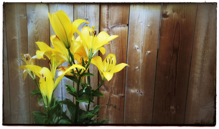 Lilies by the fence. Photography Photo Of The Day Project 365 Iphone 5 Flowers