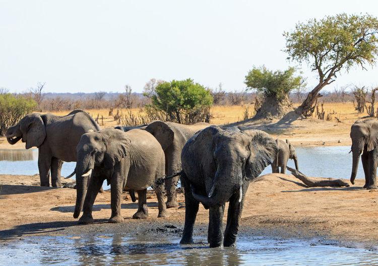 Animal Wildlife Animal Animals In The Wild Animal Themes Mammal Nature No People Day Elephant Group Of Animals Water Clear Sky Safari Medium Group Of Animals Animal Family Outdoors African Elephant Animal Trunk