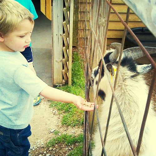 my son feeding the goat