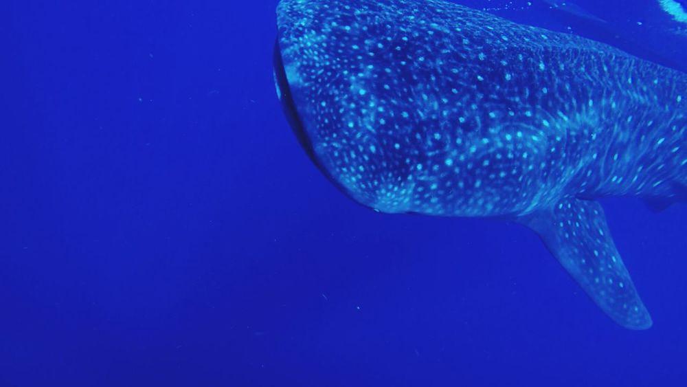 Whale Sea Fish Blue Whale Shark Sea Life Animal Themes UnderSea Marine One Animal Fish No People Nature Vertebrate Beauty In Nature Outdoors First Eyeem Photo EyeEmNewHere