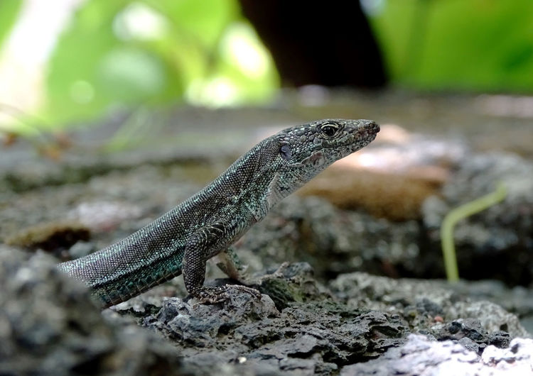 Animal Animal Themes Reptile Animal Wildlife Lizard Focus On Foreground Nature Close-up Animal Head  One Animal Animals In The Wild Outdoors